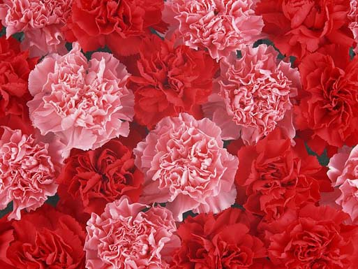 Carnation_flower_photo_Vol_091_DT039a